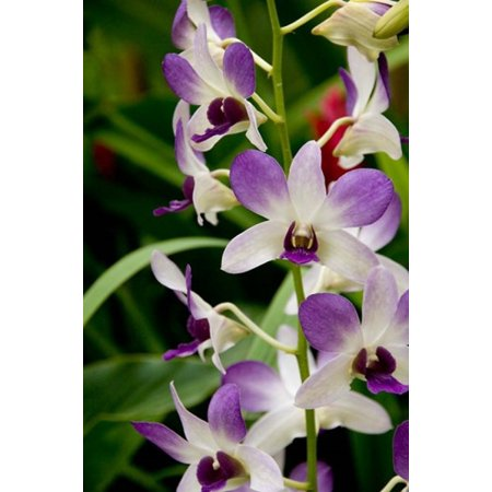 Flowers in National Orchid Garden Singapore Poster Print by Cindy Miller Hopkins