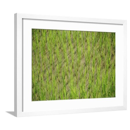 Rice Growing in 2000 Year Old Rice Terraces, Banaue, Luzon, Philippines, Asia Framed Print Wall Art By Maurice (Old Van For Sale Philippines)