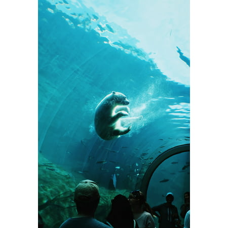 Laminated Poster Polar Bear Swimming Under Water In A Ocean Park Poster Print 24 x 36 (Polar Bear Pictures)