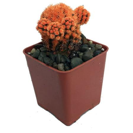 Fire Opal Orange Living Desert Jewel Cactus - 2