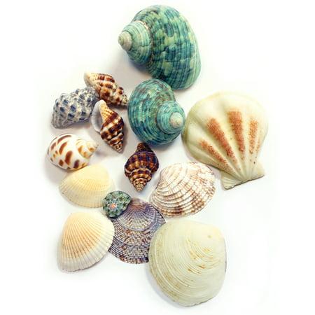 Bulk Sea Shells (Sea Shells 4.3oz-Mixed)