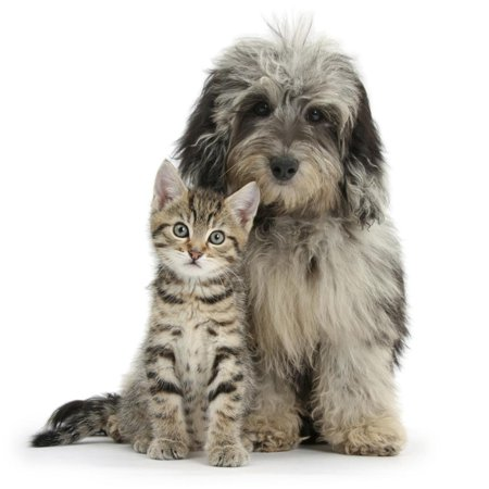 Tabby Kitten 8 Weeks, with Fluffy Black and Grey Daxie Doodle (Daschund Poodle Cross) Puppy Print Wall Art By Mark Taylor (Poodle Doodle)