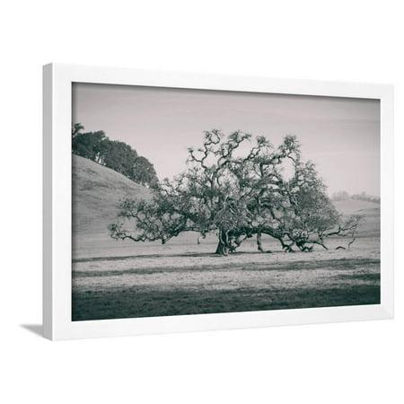 Coast Live Oak Elegance in Black and White, Northern California Framed Print Wall
