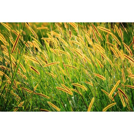 - LAMINATED POSTER Field Grass Seed Brown Seed Long Seeds Golden Seeds Poster Print 24 x 36