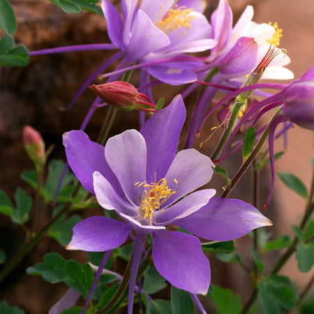 Dragonfly mix columbine flower seeds 1000 seeds perennial flower dragonfly mix columbine flower seeds 1000 seeds perennial flower garden seeds aquilegia caerulia mightylinksfo