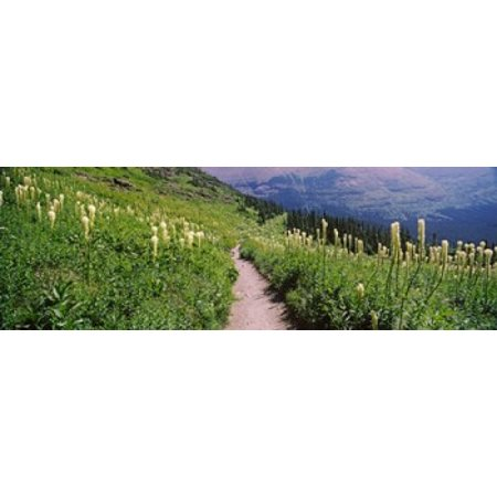Hiking trail with Beargrass (Xerophyllum tenax) at US Glacier National Park Montana USA Canvas Art - Panoramic Images (18 x