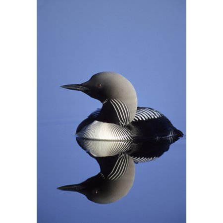 Closeup Of Pacific Loon On Pond Arctic National Wildlife Refuge Arctic Alaska Summer Posterprint