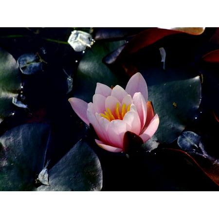 Canvas Print Water Lily Lotus Lotus Blossom Flowers Lotus Flower Stretched Canvas 10 x 14 - Lotus Blossom Symbol