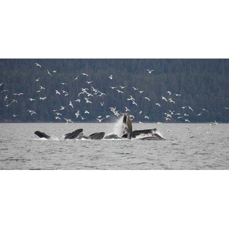 Humpback Whale bubble net feeding near Juneau with seagulls stealing fish Alaska Poster Print by Matthias Breiter