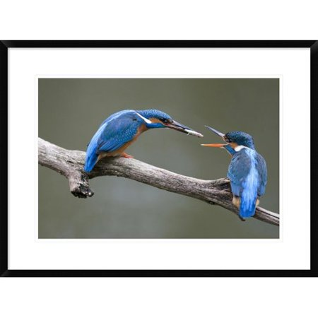 Global Gallery Kingfisher Male Presenting a Fish to Female During Courtship, Netherlands Framed Photographic Print