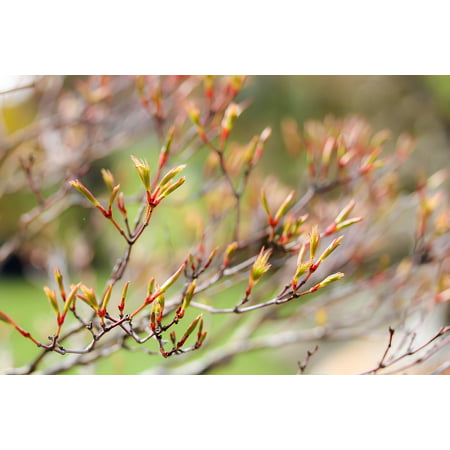 Laminated Maple Wood - LAMINATED POSTER Nature Budding Maple Maple Branches Wood Plant Poster Print 24 x 36
