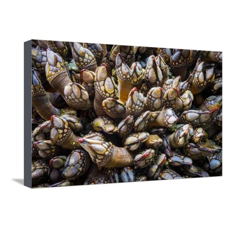 Washington, Pattern of Gooseneck Barnacles on an Olympic Coast Rocky Intertidal Shore Stretched Canvas Print Wall Art By Gary -