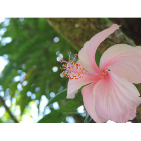 Canvas Print Hibiscus Pink Hibiscus Tree Stretched Canvas 10 X 14