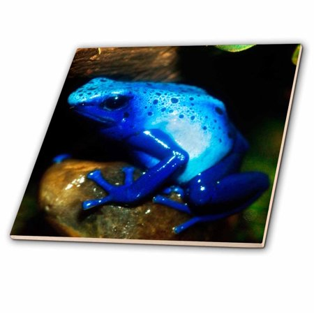 3dRose South America, Surinam. Blue poison arrow frog on rainforest floor. - Ceramic Tile, 4-inch (Frog Tile)