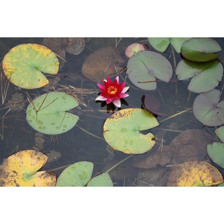Canvas Print Aquatic Plant Blossom Pond Bloom Water Lily Lotus Stretched Canvas 10 x