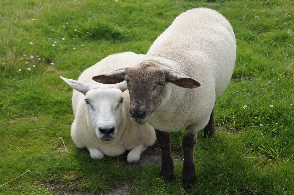 Canvas Print Sheep Ears Wool Animals Lamb Stretched Canvas 10 X 14 Walmart Com Walmart Com