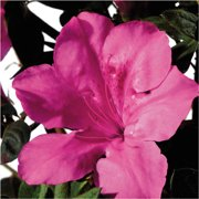 Encore Azalea Autumn Sangria - Blooming Shrub with Dark Pink Blooms - 1 Gal