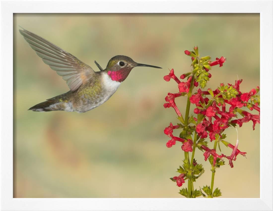 Broad-Tailed Hummingbird (Selasphorus Platycercus) Male Flying at ...