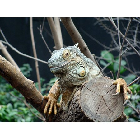 LAMINATED POSTER Close Up France Vincennes Iguana Zoo Animals Head Poster Print 24 x (Best Zoo In France)
