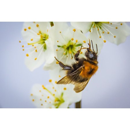LAMINATED POSTER Hummel Bloom Pollination Nature Insect Blossom Poster Print 24 x 36