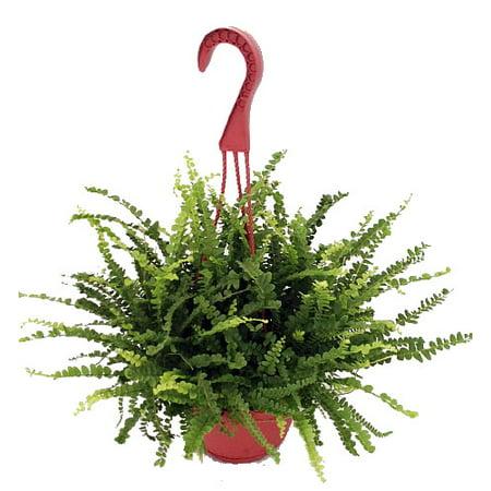 "Lemon Button Fern 6"" Hanging Basket - Nephrolepis"