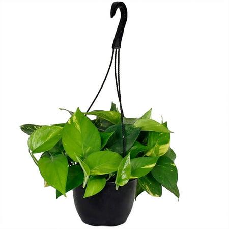 delray plants pothos in 8 hanging basket. Black Bedroom Furniture Sets. Home Design Ideas