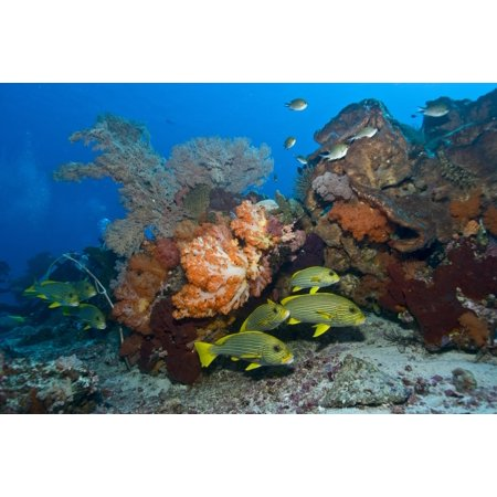 Orange soft coral yellow gorgonian sea fan and yellow and blue striped sweeltip fish Komodo Indonesia Poster (Sea Fan Corals)