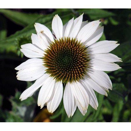 Coneflower Harvest (Pow Wow White Coneflower - Echinacea - Live Plant - Quart Pot)