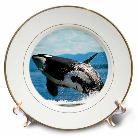 3Drose Cp 2545 1 Killer Whale Airbourne Porcelain Plate  8 Inch
