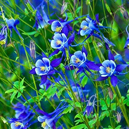 Hot Sale Rare Aquilegia Blue Columbine Perennial Flower Seeds