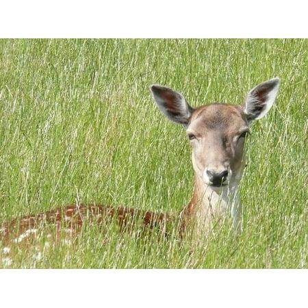 Deer Ears (Peel-n-Stick Poster of Roe Deer Attention Grass Ears Fallow Deer Poster 24x16 Adhesive Sticker Poster)