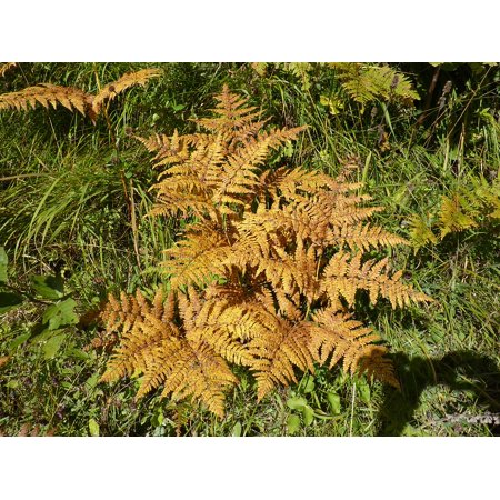 LAMINATED POSTER Plant Green Forest Plant Autumn Leaf Fern Fern Poster Print 24 x 36
