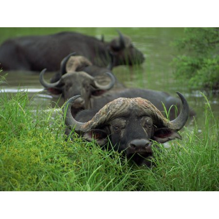 Close-Up of Head of Cape Buffalo, Kruger National Park, South Africa, Africa Print Wall Art By Paul