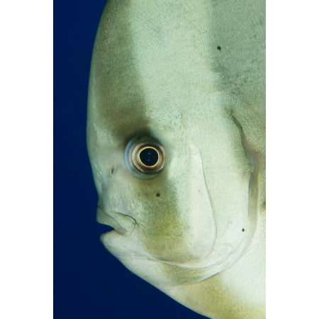 Longfin Spadefish Also Known As Longfin Batfish Side On Facial View Tulamben Bali Indonesia Poster Print