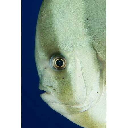 Longfin Spadefish Side On Facial View Tulamben Bali Indonesia Canvas Art   Steve Jonesstocktrek Images  23 X 35