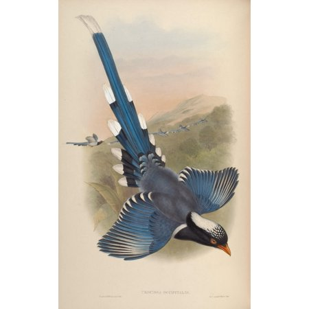 Birds of Asia 1850 Nepalese Blue Pie Canvas Art - John Gould (24 x 36)