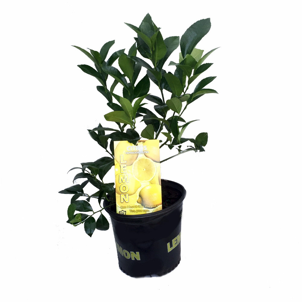 "Meyer Lemon Tree - Fruiting Size/Branched Plant - 8"" Pot ..."