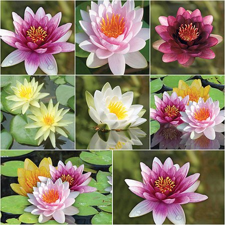 Bloomsz Nymphaea Water Plant Lily Collection, Root / Flower Bulb, 8pk