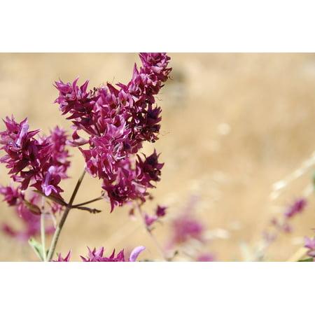 Spanish Sage (Framed Art For Your Wall Herbs Wild Sage Sage Gran Canaria Island Spain 10x13)