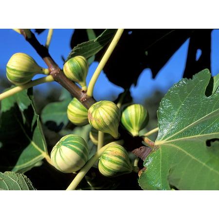 Candy Plant - Panache Tiger Stripe Edible Fig Plant - Sweet - 2.5