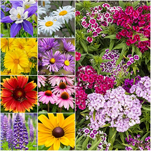 Packet of 3,000 Seeds, Perennial Wildflower Mixture (100% Pure Live Seed) Open Pollinated Seeds by Seed Needs