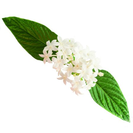 Delray Plants Live Pentas - Outdoor Plants - Fresh from the Farm - White - 4