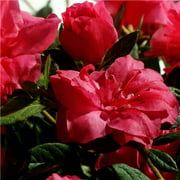 Encore Azalea Autumn Rouge - Shrub with Semi-Double Pink Blooms - 1 Gal
