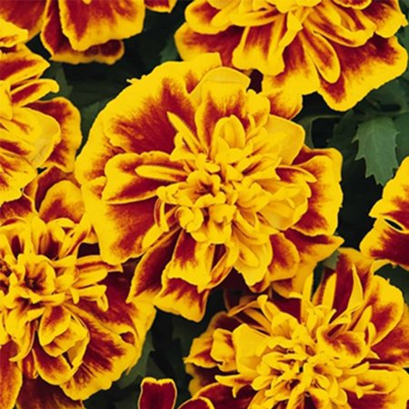 French Marigold Flower Garden Seeds - Bonanza Series - Bee - 1000 Seeds - Annual Flower Gardening Seeds - Tagetes - Pearstone Gold Series