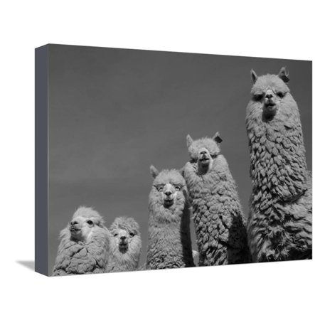 Pete Canvas Art (Alpacas, Andes, Ecuador Stretched Canvas Print Wall Art By Pete Oxford)