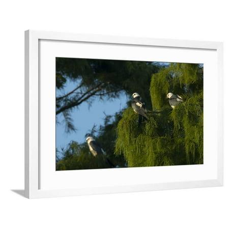 Swallow-Tailed Kites Roosting, Lake Woodruff NWR, Florida Framed Print Wall Art By Maresa Pryor ()