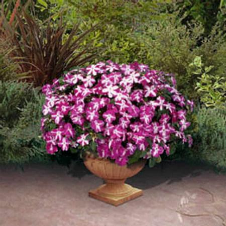 Impatiens Flower Garden Seeds - F1 Tumbler Series - Violet Star - 100 Seeds - Annual Flower Gardening Seeds - Impatiens wallerana - Walmart.com
