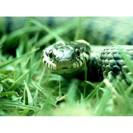 West Snake (Grass Snake, Hampshire, UK Print Wall Art By Ian West)