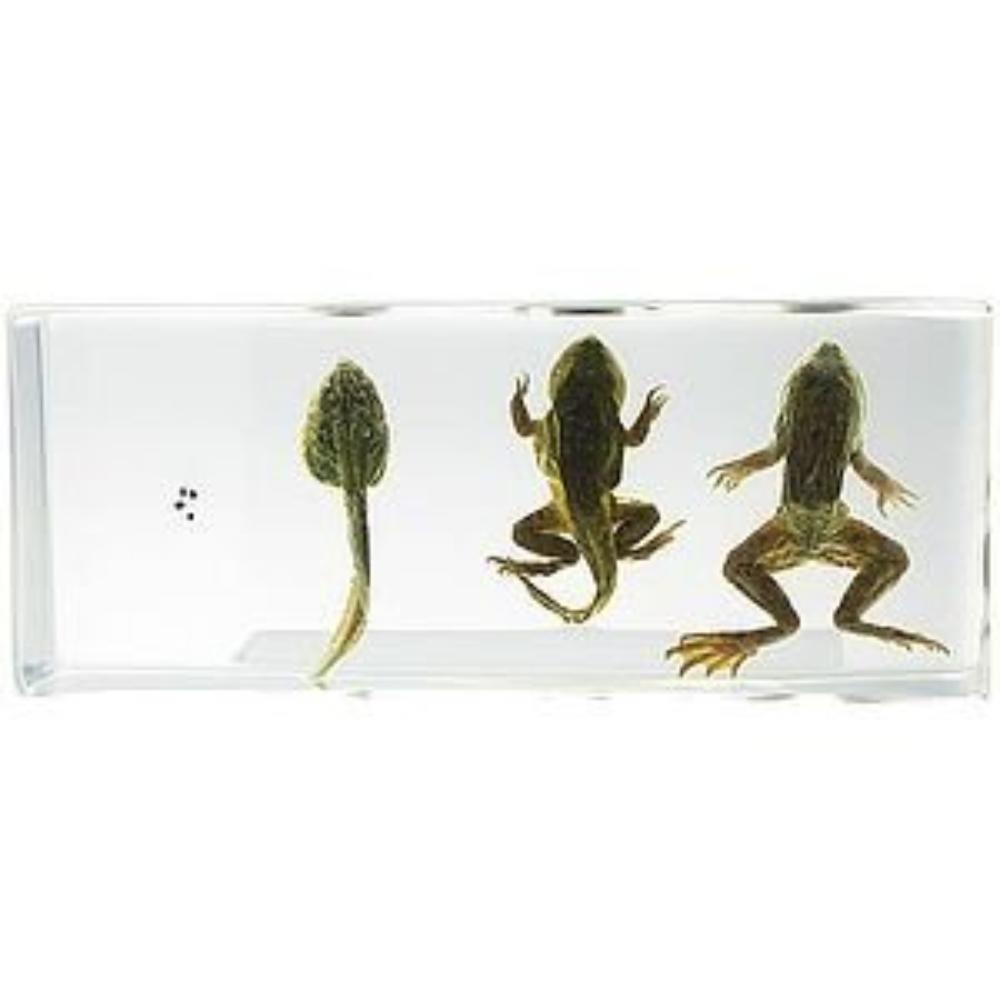 Life Cycle of Frog Real Specimen, Acrylic specimen block featuring specimens of the four life cycle stages of... by