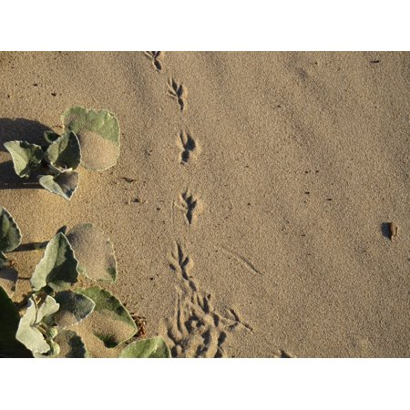 LAMINATED POSTER Marks Footprint Sand Claws Track Bird Trail Poster Print 24 x 36 (Footprint Tack)